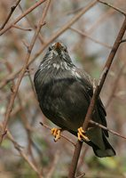 White-cheeked Starling - Sturnus cineraceus