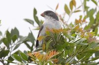 White-bellied Seedeater - Sporophila leucoptera