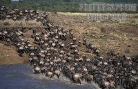 ...Blue wildebeest , connochaetes taurinus , crossing the Mara river during the migration , Maasai