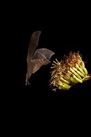 ...Lesser Long-nosed Bat ( Leptonycteris curasoae ) endangered species At agave plant ( Agave sp .