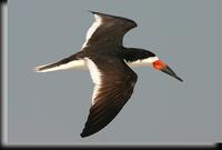 Black Skimmer, Jones Beach, NY