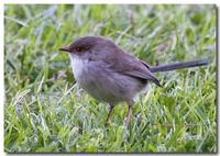 Female Wren (Superb Fairy-Wren(Malurus cyaneus))