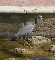 : Ardea novaehollandiae; White Faced Heron