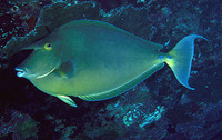 Naso unicornis, Bluespine unicornfish: fisheries, gamefish, aquarium