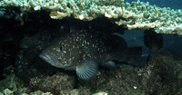 Epinephelus multinotatus, White-blotched grouper: fisheries
