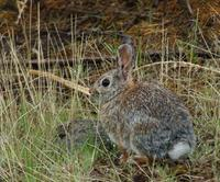 Image of: Sylvilagus nuttallii (mountain cottontail)