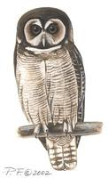 Image of: strix leptogrammica (brown wood owl)