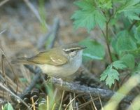 Sakhalin Leaf-Warbler (Phylloscopus borealoides) photo