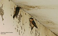 Chestnut-collared Swallow - Petrochelidon rufocollaris