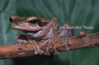 : Polypedates macrotis; Brown-Striped Tree Frog
