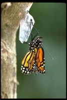 : Danaus plexippus; Monarch Butterfly
