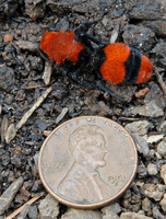 : Dasymutilla occidentalis; Velvet Ant (a.k.a. Cow Killer)