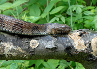 : Nerodia taxispilota; Brown Watersnake