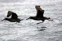 ...Most of the Black-footed Albatrosses were juveniles, like the bird on the right. 14 October 2006