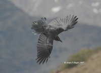 Large-billed Crow » Corvus macrorhynchos