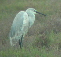 ...Presumed Hybrid of Reef Egret x Little Egret - Egretta gularis x E. garcetta - Ebro Delta (Catal