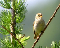Chinese Leaf-Warbler Phylloscopus yunnanensis, Wulingshan, Hebei Province, China - Jun, 2004 © D...