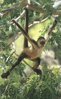 photograph of a spider monkey