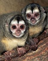 photograph of night monkeys : Aotus trivirgatus