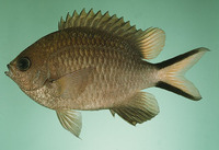 Chromis scotochiloptera, Philippines chromis: