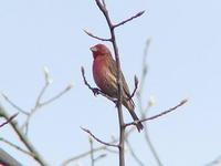 Image of: Carpodacus purpureus (purple finch)