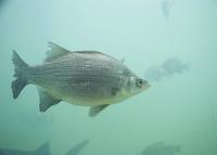 Morone chrysops - White Bass