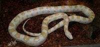 Image of: Elaphe guttata (corn snake)
