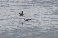 Long-billed Murrelet - Brachyramphus perdix