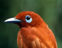 Rufous Paradise-flycatcher - Terpsiphone cinnamomea