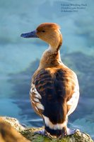Fulvous Whistling-Duck - Dendrocygna bicolor