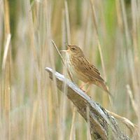 Lanceolated (Grasshopper-) Warbler (Locustella lanceolata) photo