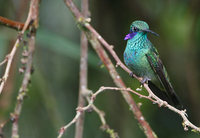 Sparkling Violet-ear (Colibri coruscans) photo