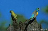 Golden-shouldered Parrot - Psephotus chrysopterygius