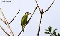 Golden-throated Barbet - Megalaima franklinii