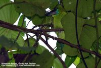 Mountain Barbet - Megalaima monticola