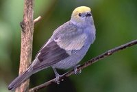 Palm Tanager - Thraupis palmarum