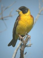 Black-headed Bunting - Emberiza melanocephala