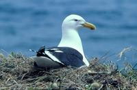 Black-backed Gull (Larus dominicanus)