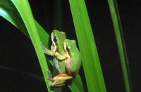 : Litoria bicolor; Northern Dwarf Tree Frog