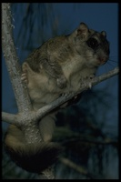 : Glaucomys sabrinus; Northern Flying Squirrel