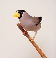 Japanese Grosbeak (Eophona personata)