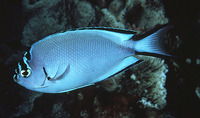 Genicanthus watanabei, Blackedged angelfish: aquarium