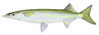 Arrhamphus sclerolepis sclerolepis, Northern snubnose garfish: fisheries, gamefish