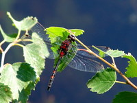 Leucorrhinia dubia - White-Faced Dragonfly