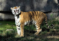 Image of: Panthera tigris (tiger)