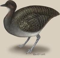 Image of: Tinamus major (great tinamou)