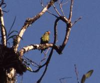 Yellow-and-green Lorikeet - Trichoglossus flavoviridis