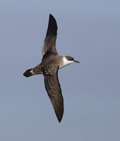 Greater Shearwater (Puffinus gravis) photo