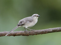 Tropical Mockingbird (Mimus gilvus) photo