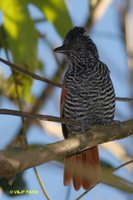 Chestnut-backed Antshrike - Thamnophilus palliatus